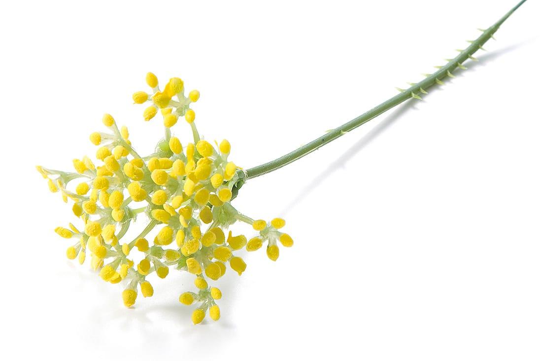 黄色いハーブ「ディル」