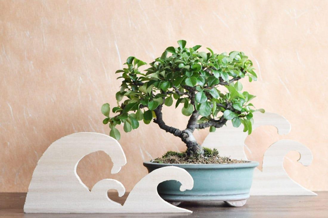 bonsaiyasuさんの長寿梅
