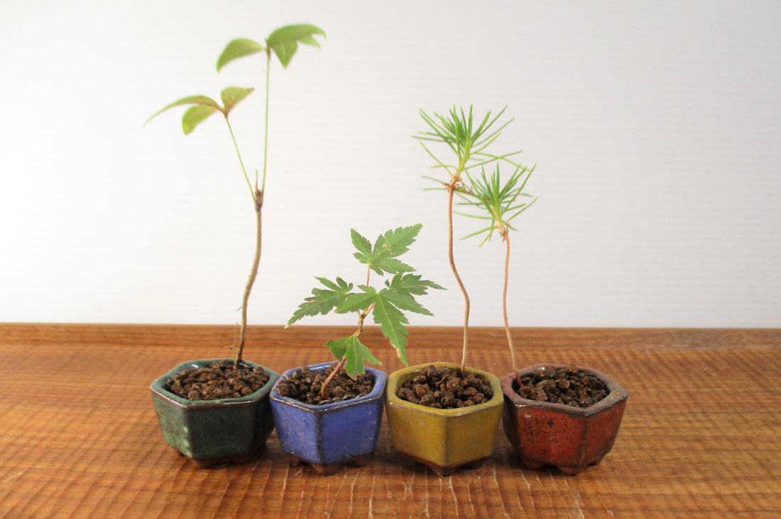 bonsai mamさんの超ミニ盆栽