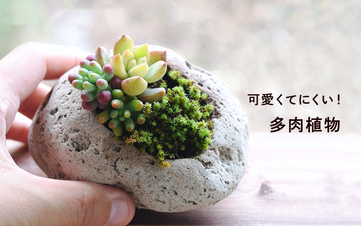 可愛くてにくい!多肉植物