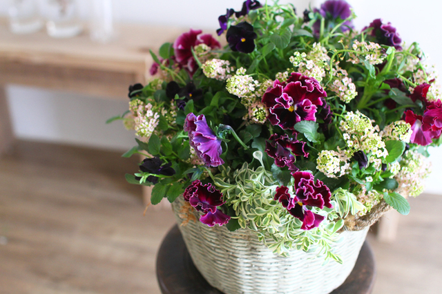 ふりふりアンティークパンジーのギャザリング-季節の花の寄せ植え-