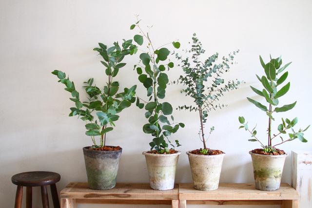 ユーカリと多肉植物寄せ植えーユーカリコレクションDー