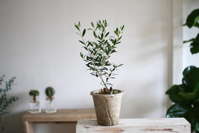 【再再販】オリーブ+多肉植物寄せ植えMサイズ
