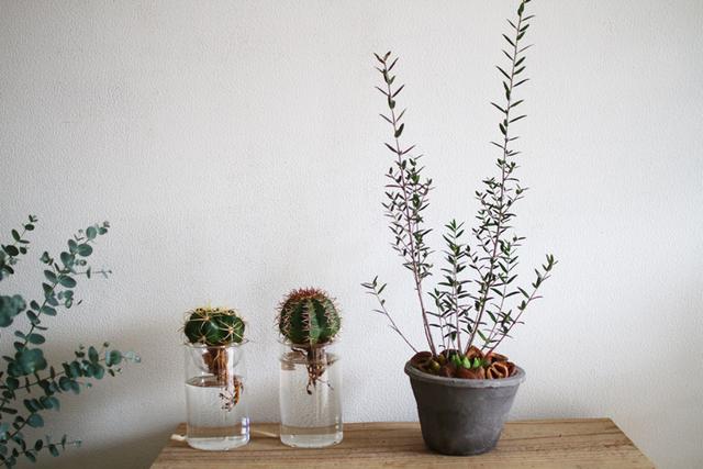オリーブ・シルベストリス+多肉植物寄せ植え