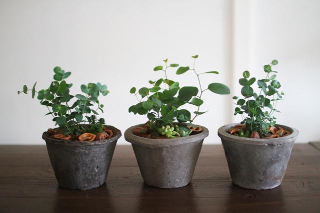 ユーカリと多肉植物寄せ植え