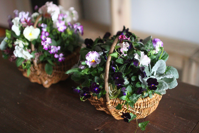 ブラックビオラのギャザリング-季節の花の寄せ植え-