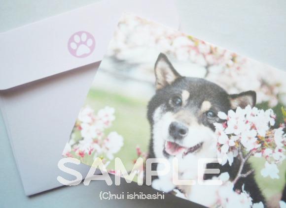 柴犬(黒柴)と桜のミニカード