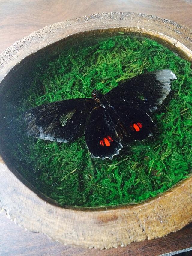 sale! 蝶の壁掛け標本ll