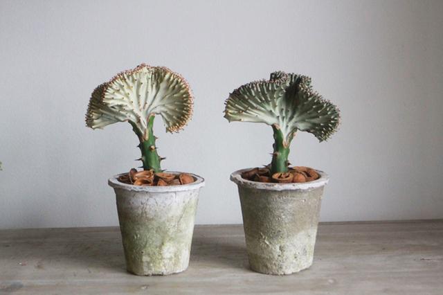 【1点もの】多肉植物 ユーフォルビア・マハラジャ