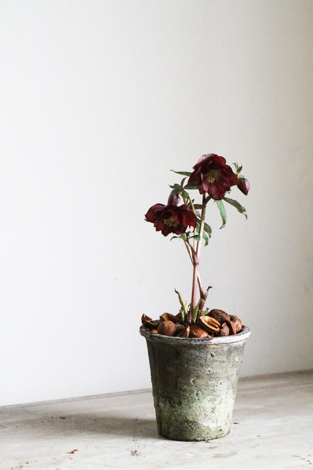 クリスマスローズのモスポット植えB(八重咲き)【1点もの】