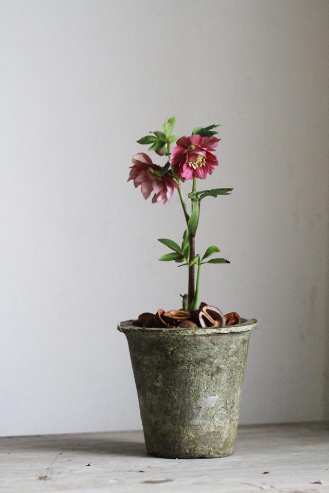 クリスマスローズのモスポット植えC(八重咲き)【1点もの】