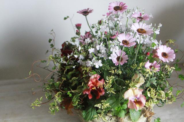 【1点もの】ローダンセマムと桜草のギャザリング-季節の花の寄せ植え-