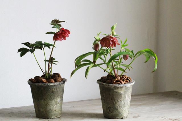 クリスマスローズのモスポット植えD(八重咲き)【1点もの】