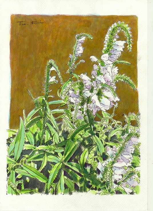 夏の花・花トラノオ