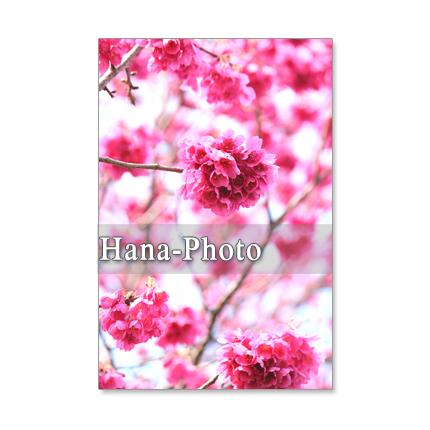 1053)緋寒桜と河津桜 セット 5枚選べるポストカード