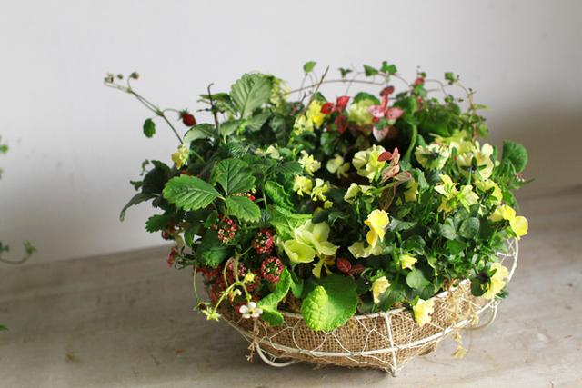 【1点もの】ぞうさんビオラとワイルドストロベリーのギャザリング-季節の花の寄せ植え-