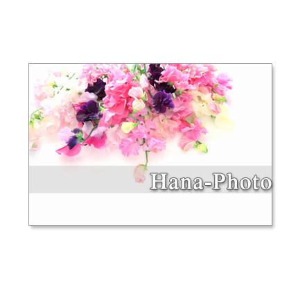 1055)ピンクの愛らしいスイトピー  セット 5枚選べるポストカード