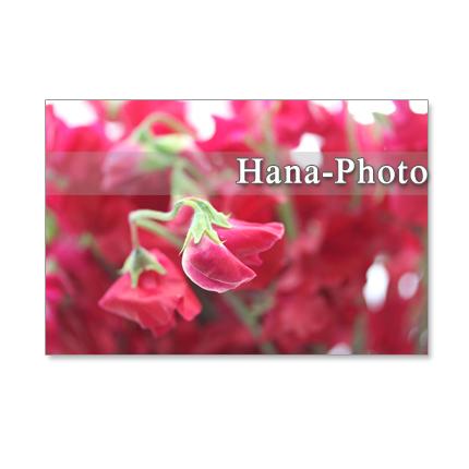 1057)聖子さんの赤いスイトピー  セット 5枚選べるポストカード