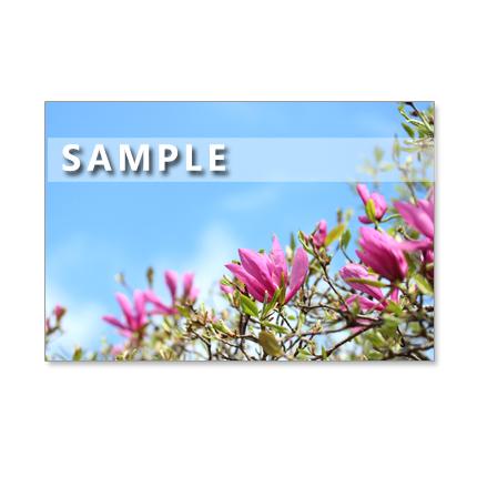 1061)再販 マグノリア、ハーデンベルギア、椿(崑崙黒)。 Postcard 5枚組