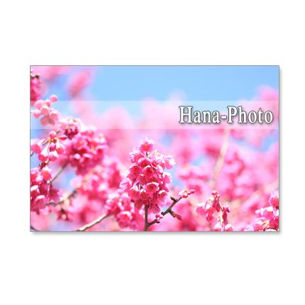 1069)緋寒桜と河津桜の艶やかな競演 青空の中で ポストカード5枚セット