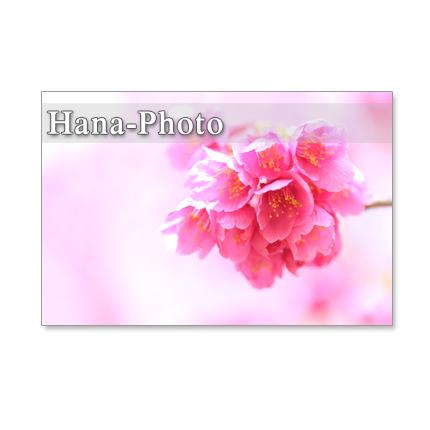 1070)緋寒桜の美しいアップ  ポストカード5枚セット