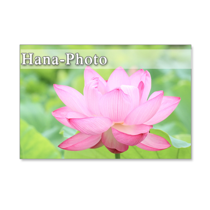 1071) あでやかな蓮の花  ポストカード5枚組