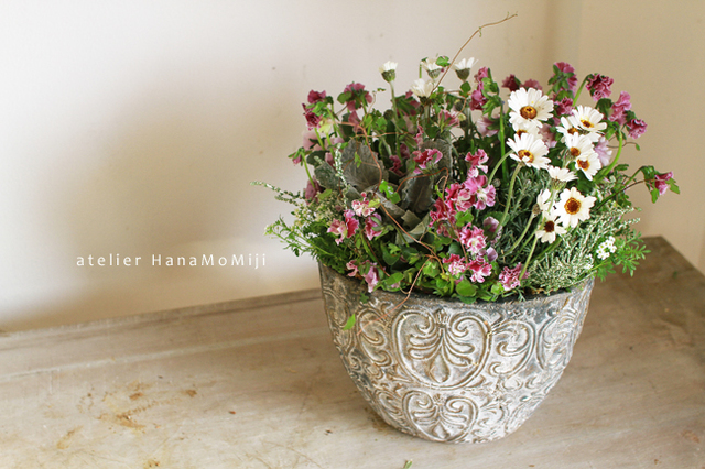 【1点もの】ぞうさんビオラとローダンセマムのギャザリング-花と植物寄せ植え-
