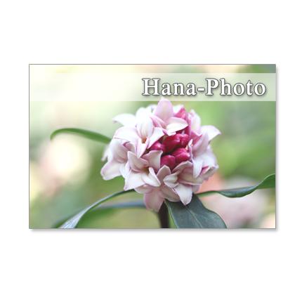 1073) 沈丁花、三椏、木蓮、福寿草   セット 5枚選べるポストカード