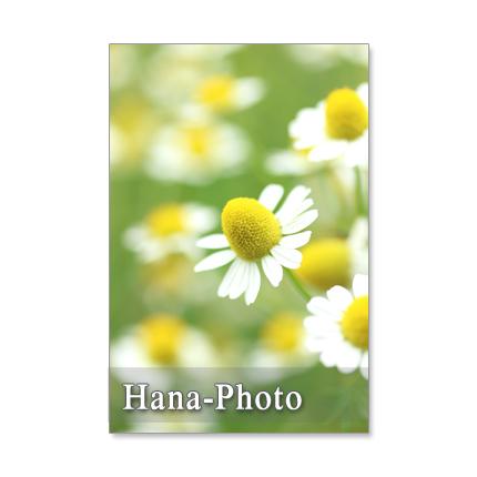 1082) ハーブカモミール  1      ポストカード5枚組