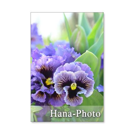 1083) フリフリパンジーとチューリップなど春の花  ポストカード5枚組