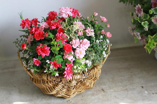 【再販】ミニバラのギャザリング寄せ植え