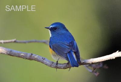 幸せを呼ぶ青い鳥『ルリビタキ』...