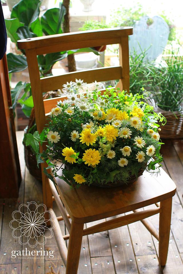 ダブル咲きオステオとマーガレットの寄せ植えギャザリング