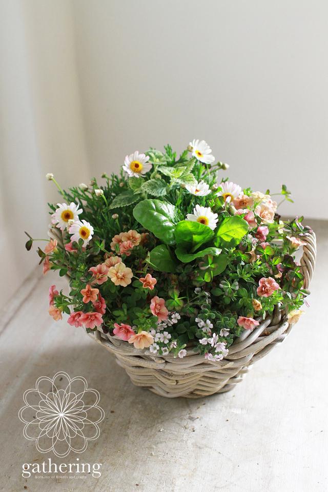 八重咲きカリブラコアとクローバーの寄せ植えギャザリングB