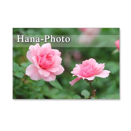1088) 美しいバラ ポストカード5枚セット