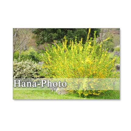 1089) レンギョウ、ルピナス、小川の風景。 ポストカード5枚セット