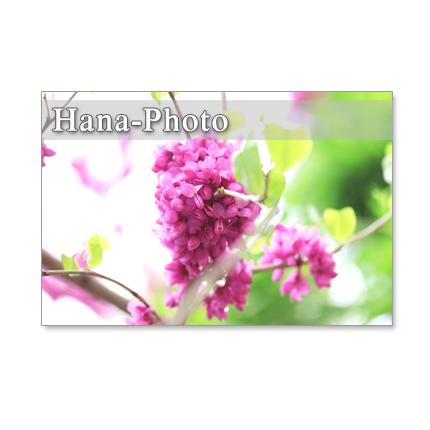 1092)  ハナズオウ、オオデマリ、八重桜、ウコン桜  ポストカード5枚組