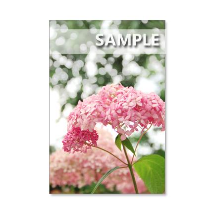 1093) ピンクアナベル、渦紫陽花、赤の紫陽花など ポストカード5枚組