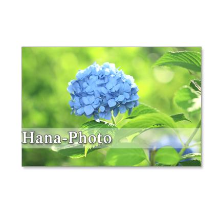 1094) 水色、赤、ピンクの紫陽花、それにアレンジメント ポストカード5枚組