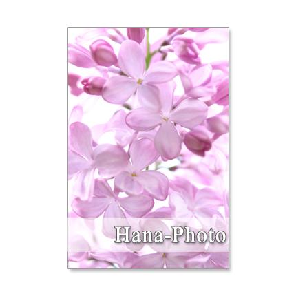 1097) お洒落なライラック 1     ポストカード5枚組