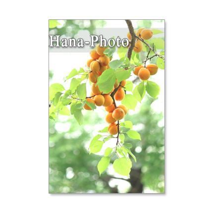 1101) 杏、ブルーベリー、梨、山桃、桃    ポストカード5枚組