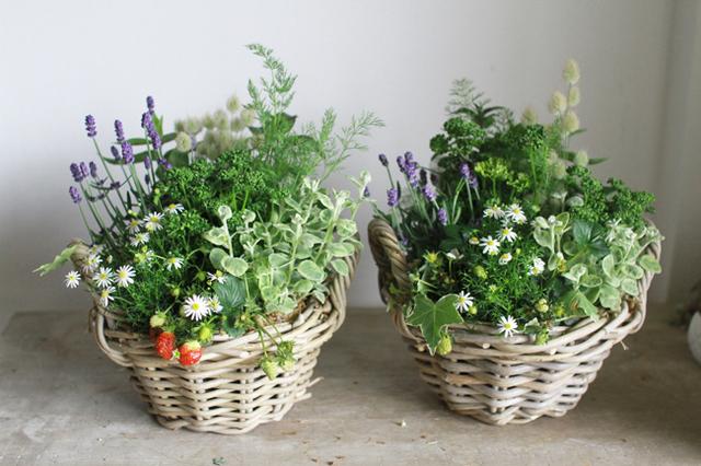 四季なりいちごとラベンダーの寄せ植えギャザリングA