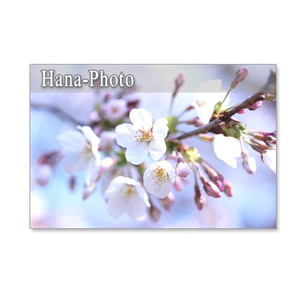 ★1054)ソメイヨシノと里桜カンザン セット 5枚選べるポストカード 再販1