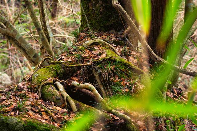 P009巨樹の根(A4)