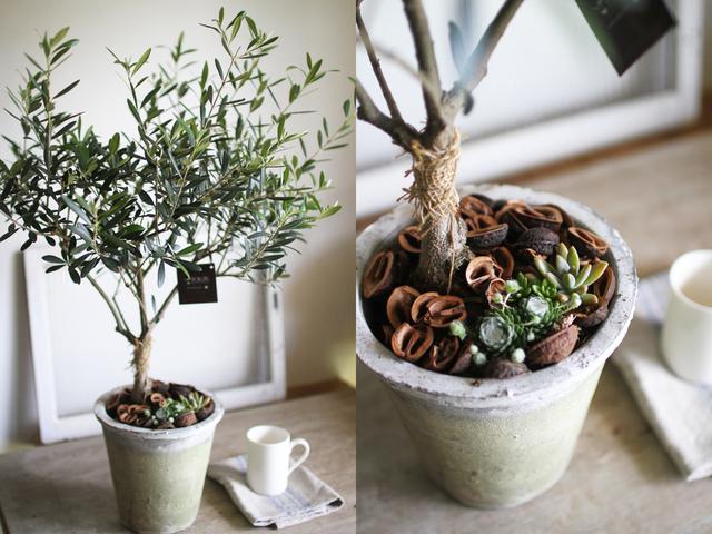 オリーブと多肉植物寄せ植え【L】