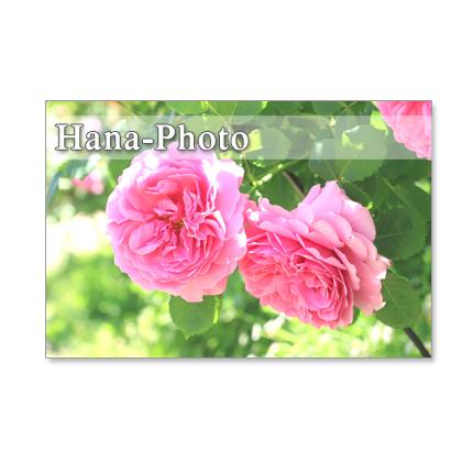 1114) バラのアップ   ポストカード5枚組