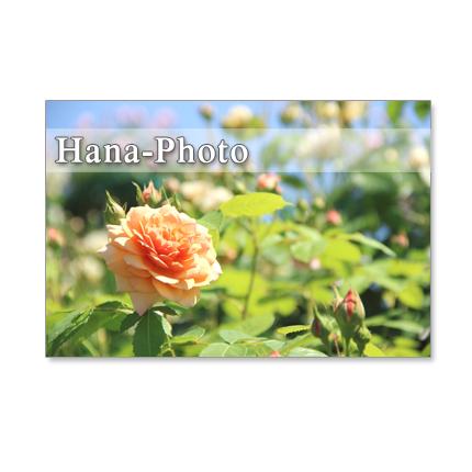 1115) 美しいバラ   ポストカード5枚組