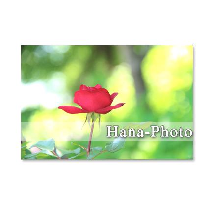 1116) 鮮やかなバラ   ポストカード5枚組