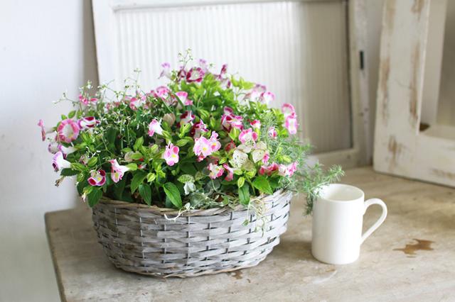 【1点物】ピンクのトレニアとロータスの寄せ植えギャザリング