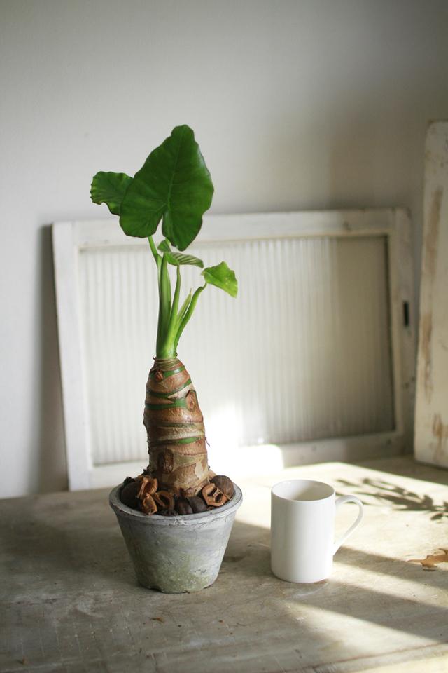クワズイモのモスポット植え